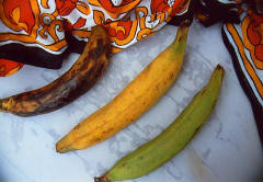 Variety of plantain maturities.  Photo courtesy of www.aloba.at